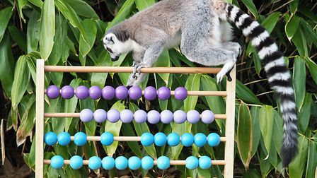 Ring tailed lemurs will be counted as part of ZSL Whipsnade Zoo's annual stock-take. Picture: Tony M