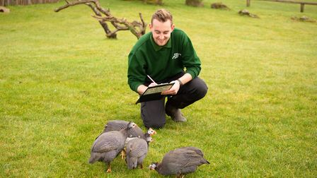 Zookeeper Joshua Tall counting guinea fowl as part of ZSL Whipsnade Zoo's annual stock-take. Picture