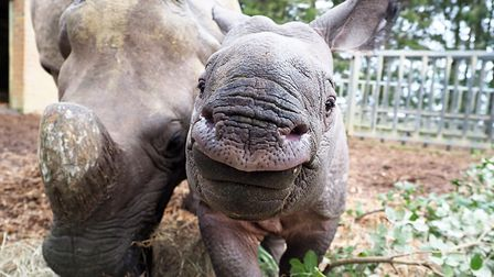 Zhiwa the one-month-old rhino calf is one of the animals to be counted as part of ZSL Whipsnade Zoo'