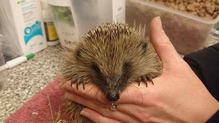 Year 7 Verulam boys rescued a hedgehog in St Albans. Picture: Supplied