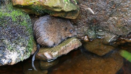 Water voles may hold up the gas main project at Ramsey