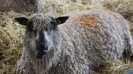 Oaklands College in St Albans has cancelled its annual lambing weekend event. Picture: Oaklands Coll
