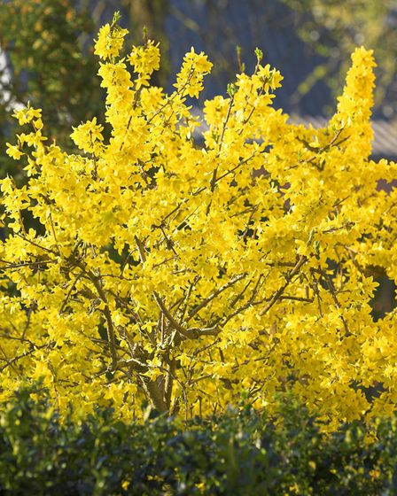 Before new spring growth starts, you can tidy up some woody plants such as forsythia. Picture: iStoc