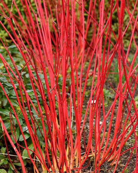 Dogwood, which is grown for its colourful winter stems, can be cut down to the ground. See PA Featur