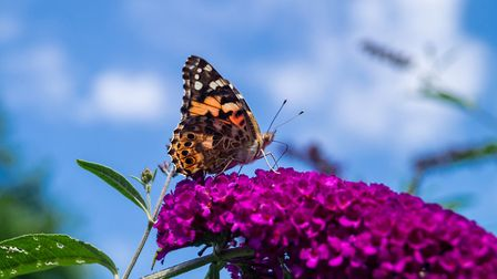Now is the ideal time to tidy up Buddleja davidii. Picture: iStock/PA