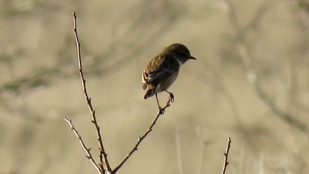 A stonechat pictured by Rupert Evershed.