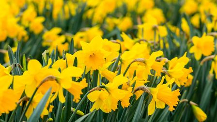 There are flashes of yellow Narcissi everywhere at the moment. Picture: Getty Images/iStockphoto