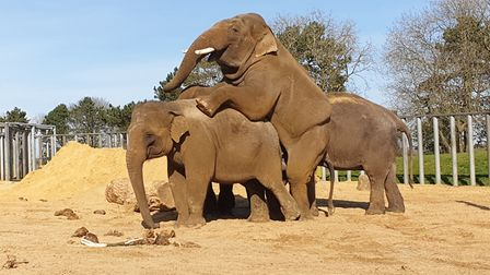 ZSL Whipsnade Asian elephants are finding a way to pass the time amid the Coronavirus shutdown. Pict