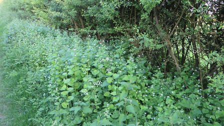 Garlic mustard near Therfield Heath in Royston. Picture: Claire Beale