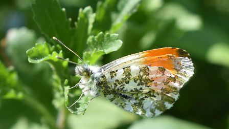 An orange-tip butterfly at Therfield Heath in Royston. Picture: Nick Beale