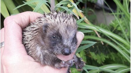 The baby hedgehogs at the London Colney rescue centre are doing well. Picture: Esther Chant