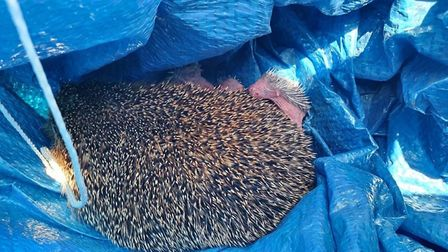 The baby hedgehogs at the London Colney rescue centre are doing well. Picture: Kirsty Pauling