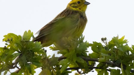 A yellowhammer in the field Gladman wants to develop, Picture: David Hatton
