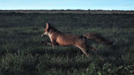Royston Says No to Gladman campaigner Ray Munden captured a fox in the field that is proposed to be