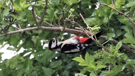 A male great spotted woodpecker in the Royston 'wildlife haven'. Picture: Ray Munden