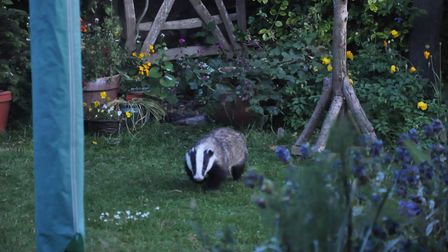 There is a badger trail across a field that could be built on in Royston. Pictured here is a badger