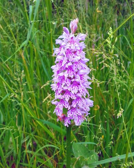 Adrian Meeks took this photo of a spotted orchid at Little Paxton Nature Reserve on June 6.