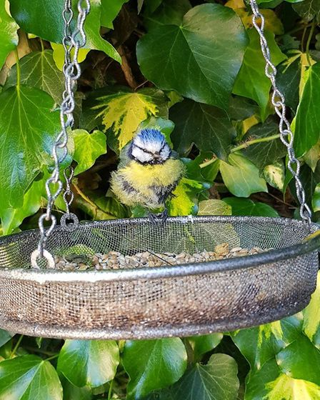 Oscar and Emily Pullen took this photograph of a blue tit in their Eynesbury garden.