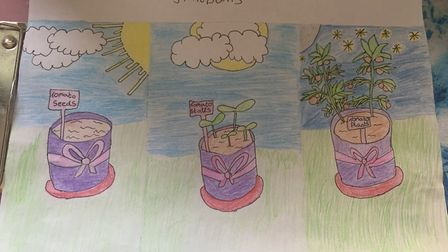 Tomato seedlings by Meredith, age 14, for the Sustainable St Albans lockdown competition. Picture: S