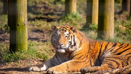 The ZSL tiger cubs celebrate their second birthday today. Picture: Supplied