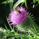 A bee on a thistle. Picture: Rupert Evershed