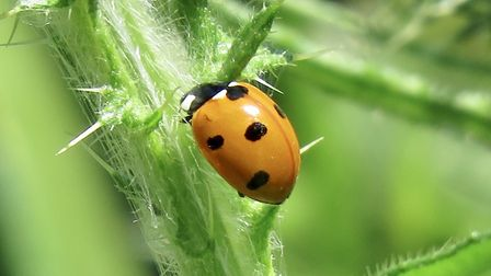 The growth stages of the Harlequin ladybird - adult. Picture: Rupert Evershed