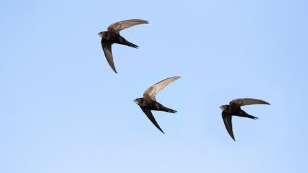 Swifts (Apus apus) by Mircea Costina (Shutterstock)