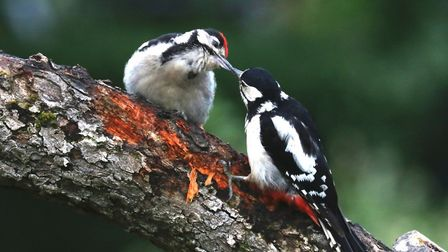 Peter Rowlings took this photo of a Great Spotted Woodpecker feeding her young in Alconbury.
