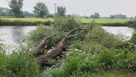 Tree that has fallen into the Great Ouse river PICTUR