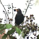 A blackbird finding rich pickings in an overgrown corner of the garden. Picture: Rupert Evershed