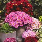 Chrysanthemums are a popular autumn pot-filler. Picture: iStock/PA