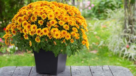 1. Keep chrysanthemums in a sheltered spot where they wont get too wet to keep the flowers good for