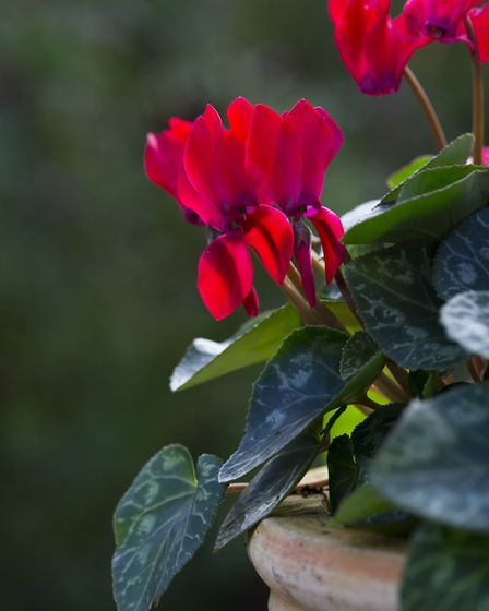 2. Cyclamen hederifolium will brighten up any pot. Picture: Dobbies Garden Centres/PA