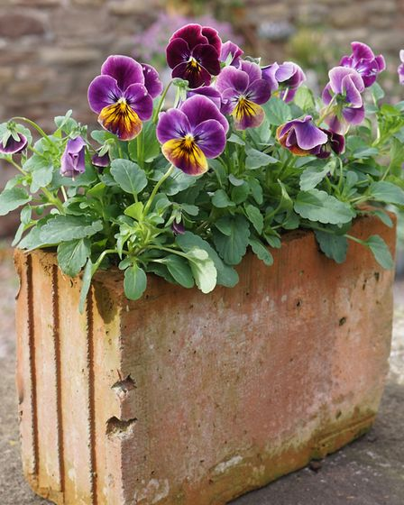 3. Viola 'Sorbet Antique Shade' is an asset to any garden. Picture: Tom Harris/PA