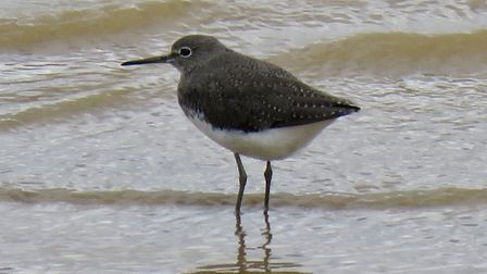 A green sandpiper photographed by Rupert Evershed.