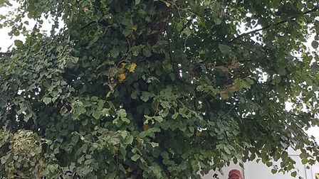St Albans Civic Society chairman Tim Boatswain next to the mature lime tree which was at risk of bei