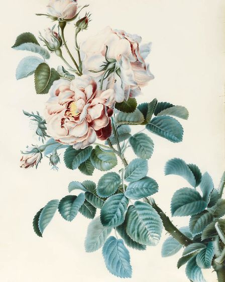 Damask Rose, by C.M. Bucher from The Fitzwilliam Museum, Cambridge. Picture: The Fitzwilliam Museum