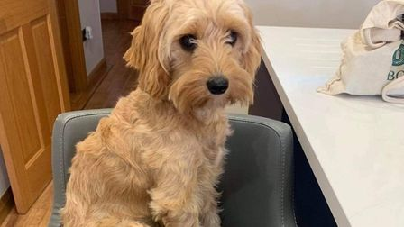 Have you seen this missing St Albans dog? Picture: Frances Haycock