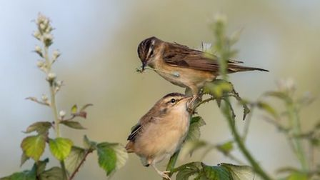 Harry Lucas's pic of a Sedge Warbler and young at Godmanchester Nature Reserve.