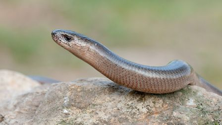 Slow worms similar to this one have been found near Samuel Lucas