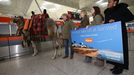 Kokoso the camel checked in at Stansted Airport