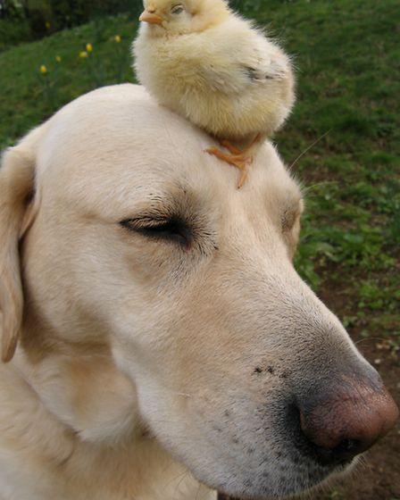 Freddie the Labrador and the chick