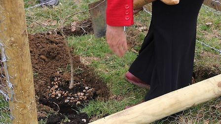 Uttlesford District Council Chairman, Councillor Christina Cant, planting the oak