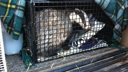 This female badger recieved treatment and was re-released into the wild. Picture by The South Essex