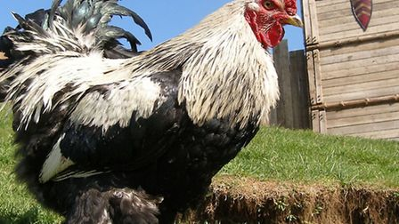 Little John, the Brahma cockerel who measures a staggering 26 inches tall