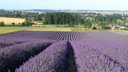 Hitchin Lavender Farm will take part in the open day