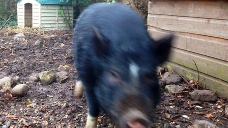 The pig has now been returned to its owner