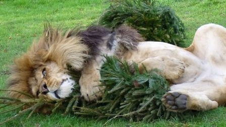 African Lion Zuri playing with his Christmas trees.