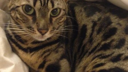 Isla, a two-year-old Bengal cat was shot dead with an air rifle.