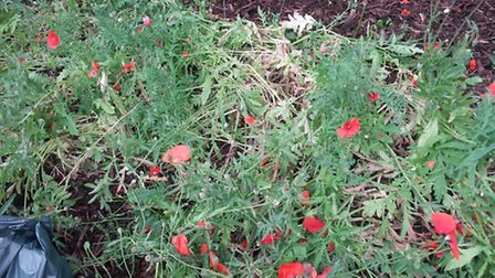 A bed of poppies in the memorial garden at Letchworth railway station was vandalised on Friday. Cred